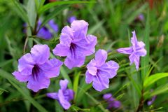 Closed up Bunch of Bright Purple Color Flowers on the Green Bush Stock Photography