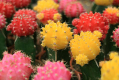Closed up Bunch of Colorful Mini Cactus Plants, Multi-Color Mini Cactus Plants stock image