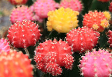 Closed up Bunch of Vibrant Pink, Yellow, Red Color Mini Cactus Plants, with Selective Focus stock image