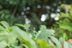 Closed up Butterfly on fleaf  with bokeh background. Royalty Free Stock Photo