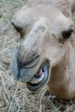 Closed up camel mouth and teeth lying on dried hay stock image
