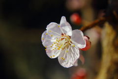 Closed up of cherry blossom Stock Photos