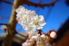 Closed up of cherry blossom Royalty Free Stock Image