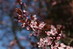Closed up of cherry blossom in japanese park royalty free stock images