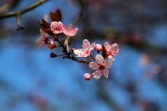 Closed up of cherry blossom in japanese park stock image