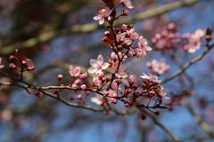 Closed up of cherry blossom in japanese park stock photo