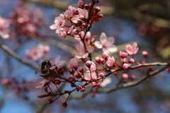Closed up of cherry blossom in japanese park stock photography
