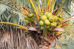 Closed-up coconut tree Stock Image