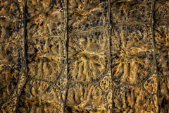 Closed up of crocodile& x27;s skin. It is a shell from above the Nile crocodile,bwildlife photo in Senegal, Africa. It is natural. Texture. The colour is yellow royalty free stock image