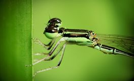 A closed up on dragonfly Royalty Free Stock Photography