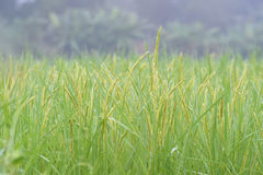 Closed up the ear of rice in a field Stock Photography