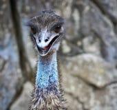 Closed up of Emu bird Stock Photos