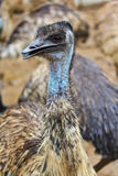 Closed up of Emu bird Royalty Free Stock Images
