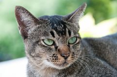 Closed up face and eyes of cute brown cat. While looking something Stock Photography