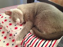 Closed up fatty grey cat is sleeping on a bed Royalty Free Stock Photography