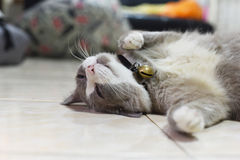 Closed up the fatty grey cat is sleeping on a floor Royalty Free Stock Photography