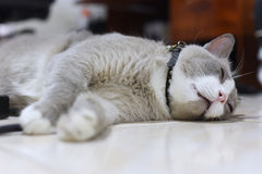 Closed up the fatty grey cat is sleeping on a floor Royalty Free Stock Photo
