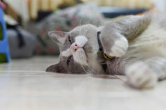 Closed up the fatty grey cat is sleeping on a floor Stock Image