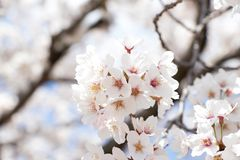 Closed up of flower sakura cherry blossom. On blue sky background stock images