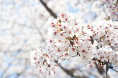 Closed up of flower sakura (cherry) blossom on blue sky background. Pink spring nature beautiful japan tree garden bloom blooming season plant couple stock image