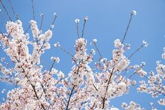 Closed up of flower sakura (cherry) blossom on blue sky background. Pink, spring, nature, beautiful, japan, tree, garden, bloom, blooming, season stock images