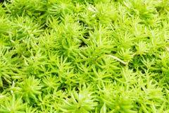 Gold moss sedum Stock Photos