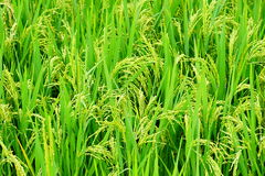 Closed up of green color rice field. stock photo