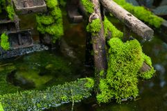Closed up green moss in tropical forest. Closed up green moss in the tropical forest royalty free stock image