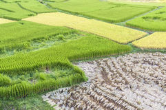 Closed up of green and yellow Terraced Rice Field in Nan, Thaila Stock Photo