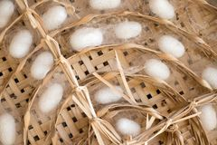 Closed up of group white cocoon of silk worm in weave nest background. Silkworm natural material fabric texture textile organic insect nature thread industry royalty free stock image
