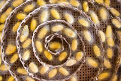 Closed up of group yellow cocoon of silk worm in weave nest. Background royalty free stock images