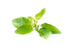 Closed up of Holy basil leaf isolated on white Stock Photo