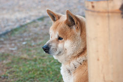 Closed up the introspective dog in the park Royalty Free Stock Photos