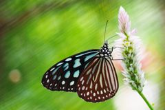 Closed up isolated blue green butterfly pink flower green background royalty free stock photo