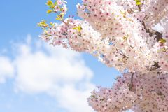 Closed up on light pink cheery blossom, sakura lit by sunlight in Osaka Japan. Beautiful cherry blossom in April royalty free stock photography