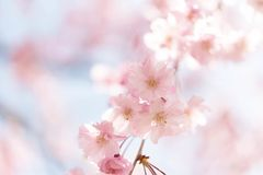 Closed up on light pink cheery blossom, sakura lit by sunlight in Osaka Japan stock photos