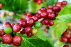 Closed up a lot of vibrant red ripening coffee cherries on the coffee tree branch in the plantation of northern Thailand. Nature Background royalty free stock photography