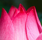 Closed up of lotus petal Stock Photography