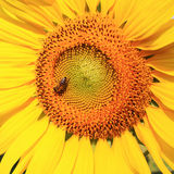 Closed Up Of Sunflower Stock Photography