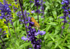 Closed up an orange color butterfly on purple petal of Lavender Royalty Free Stock Images