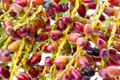 Closed up of Palm seed bunch - riped Stock Photo