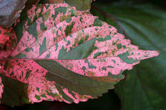 Closed up Pattern of Vibrant Pink with Brown Accent Tropical Plant Leaf Stock Image