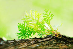 Closed up of pine leaf on tree Royalty Free Stock Photo