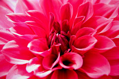 Closed up of pink dahlia flower royalty free stock photo