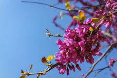 Closed up of pink Judas, Judasbaum Cercis siliquastrum flowers Royalty Free Stock Images