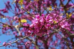 Closed up of pink Judas, Judasbaum Cercis siliquastrum flowers Stock Image