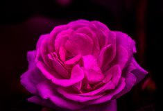 Closed up pink-purple rose in a dark background. Romance,Asia, Thailand royalty free stock photos