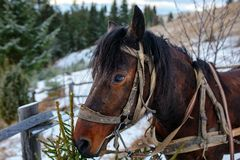 Closed up portrait of brown harnessed horse on the background of royalty free stock photography