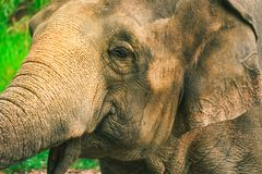 Closed up potrait of elephant. Closed up potrait of elephant vintage tone color royalty free stock photography