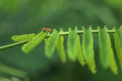 Closed up Red ant. Walk on Top Acacia plant Royalty Free Stock Photos
